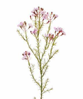 Rama artificial Chamelaucium uncinatum rosa 65 cm